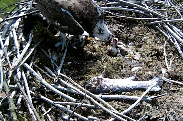Feeding at 16.30 (c) Forestry Commission England