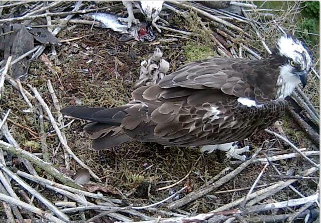 37 rearranging the nest today. Again! (c) Forestry Commission England