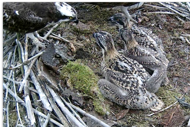 37 and his chicks just looked at each other for several minutes (c) Forestry Commission England