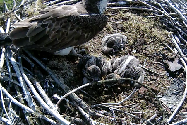 Chick 2 picks up a stick (c) Forestry Commission England