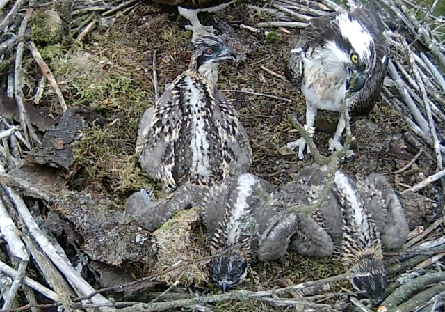 The difference between 37's yellow eye and the chick is striking (c) Forestry Commission England