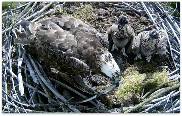 Mrs 37 puts a bit more protection on the edge favoured by the chicks (c) Forestry Commission England