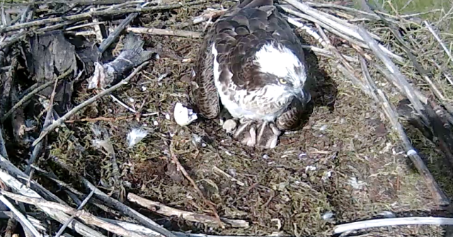 The first sight of chick 3, on the left facing you (c) Forestry Commission England