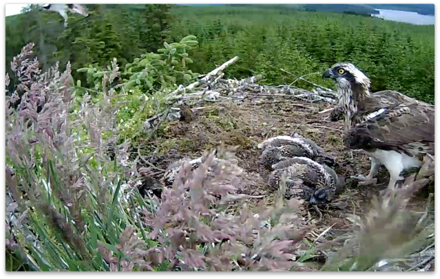 The osprey flies away from the nest (c) Forestry Commission England