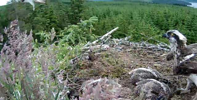 Another image of the intruder (c) Forestry Commission England