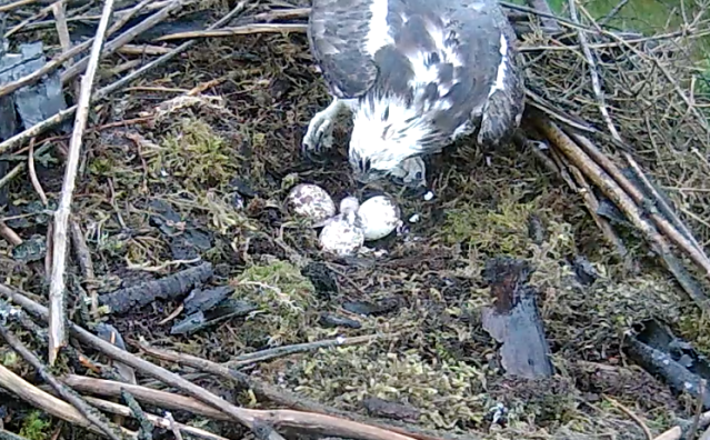 Mrs 37 has tucked the egg shell around the chick (c) Forestry Commission England