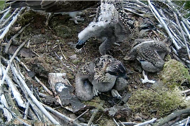 On Sunday chick 1 stood and took a step or two a few times (c) Forestry Commission England