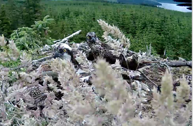 The intruder sweeps past the nest (c) Forestry Commission England