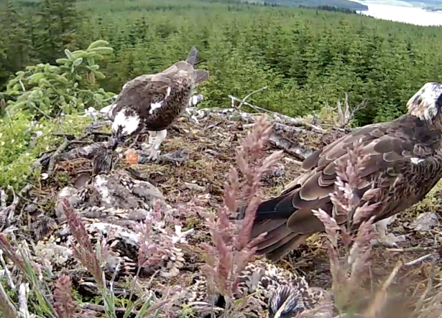YA landed to take the fish away but couldn't resist a plea from a chick! (c) Forestry Commission England