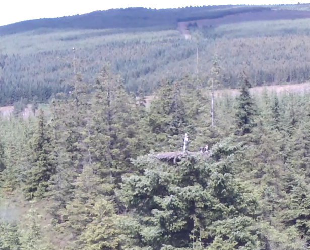 YA is in the top of a tree left of the nest; Blue VT is below him (c) Forestry Commisison England