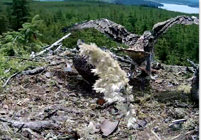 Some sustained wing flaps on Nest 1 on Friday (c) Forestry Commission England