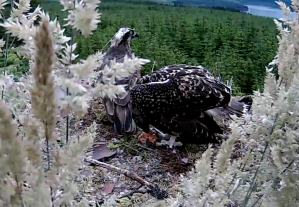 The most precocious of the three chicks feeds itself (c) Forestry Commission England