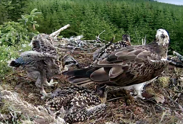 The youngest Nest 1 chick (c) Forestry Commission England