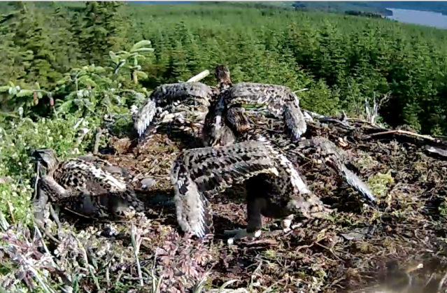 Synchronised standing and wing stretching (c) Forestry Commission England