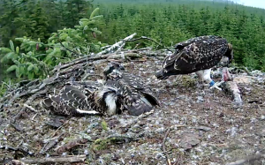 Mrs YA has just fed two of the chicks and Blue VT helps herself (c) Forestry Commission England