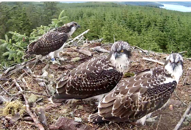 The chicks together for once (c) Forestry Commission England