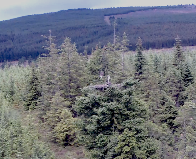 YA looks on from the top of a tree on the left as his son White UV helicopters (c) Forestry Commission England