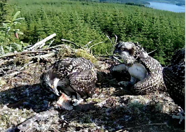 Blue UV watches as Blue VV uses her talons (c) Forestry Commission England