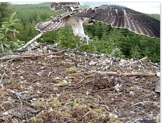 Soon after 15.00 Blue UV heads for a well judged touch down on the nest edge (c) Forestry Commission England