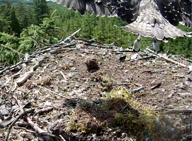 Early in the day Blue VT jumped right across the nest (c) Forestry Commission England