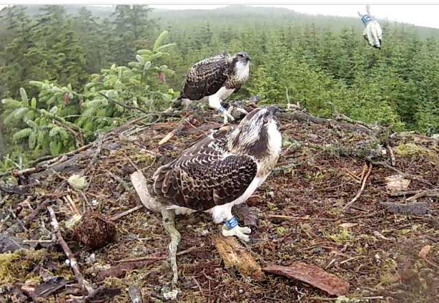 Blue VT's jump is tracked by her siblings (c) Forestry Commission England