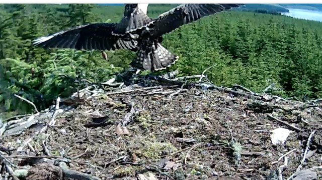 Blue VT jumps across the nest landing on Blue VV (c) Forestry Commission England
