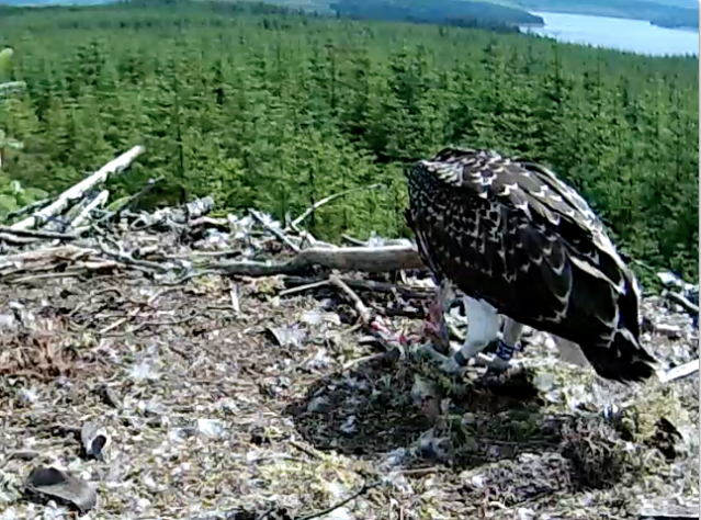 Under 5 minutes from delivery, Blue VT is tearing large pieces from the fish (c) Forestry Commision England