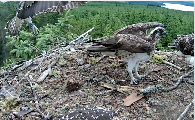 Blue VV tries to show off her prowess but Mum isn't looking (c) Forestry Commission England