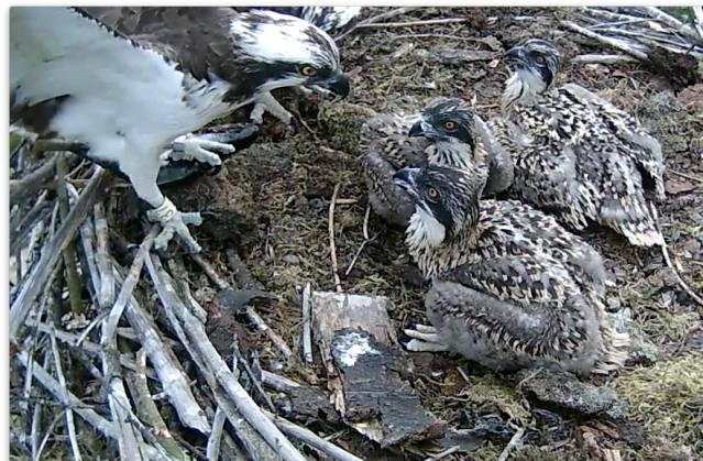 37 has just landed with a new meal (c) Forestry Commission England