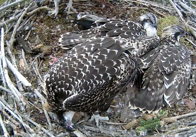 Blue 9H uses a stick to clean shreds of trout from her beak (c) Forestry Commission England