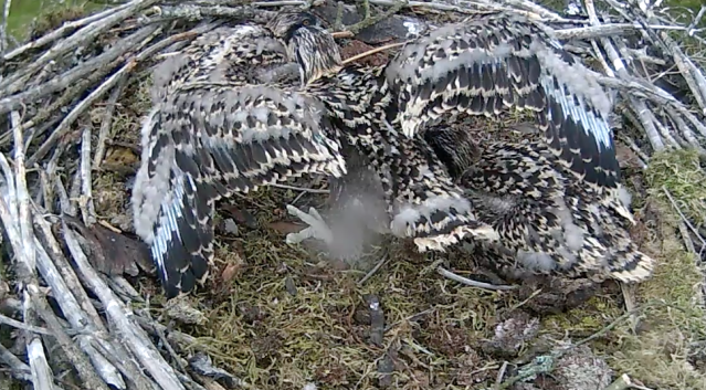 Chick 1 has a wing stretch on Wednesday evening (c) Forestry Commission England