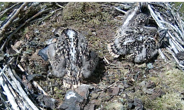Chick 2 decides to help itself (c) Forestry Commission England