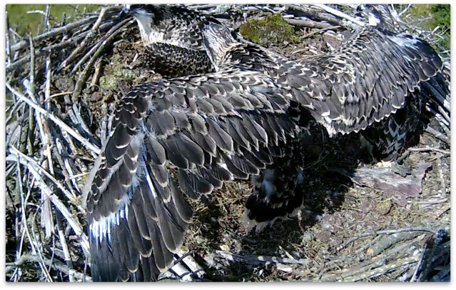 Chick 2 on Nest 2 has a bit of exercise (c) Forestry Commission England