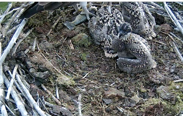 Chick 3 hasn't got room for any more! (c) Forestry Commission England