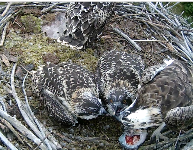 ... and chick 3 then pulls the interception trick (c) Forestry Commission England