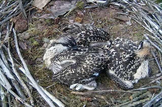 Chick 3's wings look well feathered... (c) Forestry Commission England