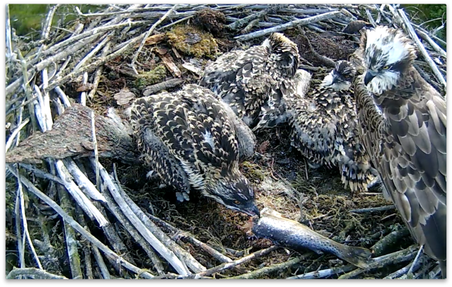 Chick 2 shows what it wants (c) Forestry Commission England