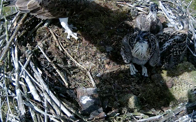 Two chicks watch Dad's shadow - and the fish shadow too! (c) Forestry Commission England