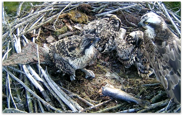 Chick 2 tells her too! (c) Forestry Commission England