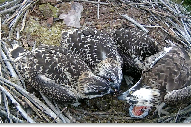 Chick 3 packs in flapping and also intercepts a morsel (c) Forestry Commission England