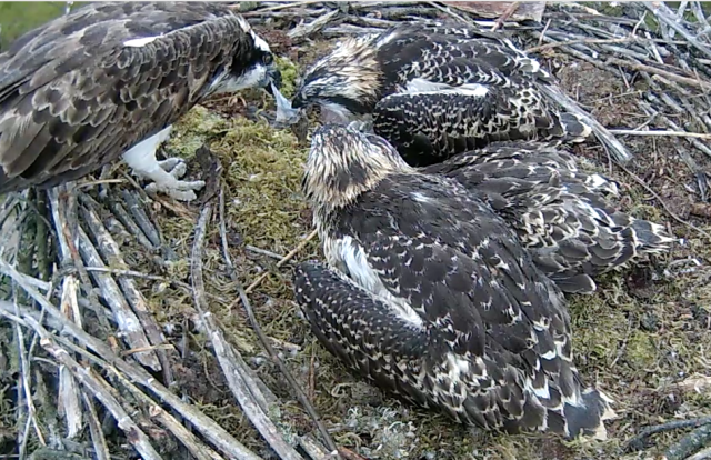 At the end of the meal chick 1 and Mrs 37 tussle for the last bit (Forestry Commission England