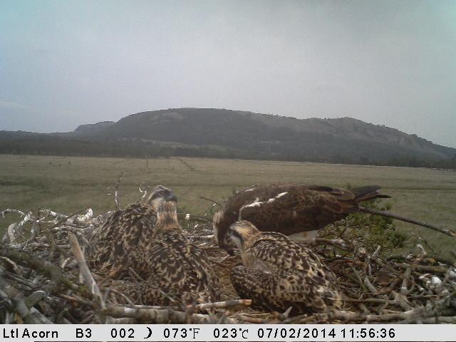 Blue 35 feeds her chicks (c) Cumbria Wildlife Trust