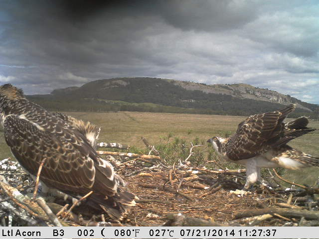 A stormy sky on the horizon a couple of days before fledging (c) Cumbria Willife Trust