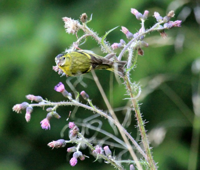 Siskin feeding on thistle seeds (c) Vivien Finn