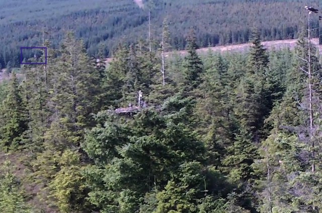 An osprey in a tree far left, two on the nest and one top right (c) Forestry Commission England