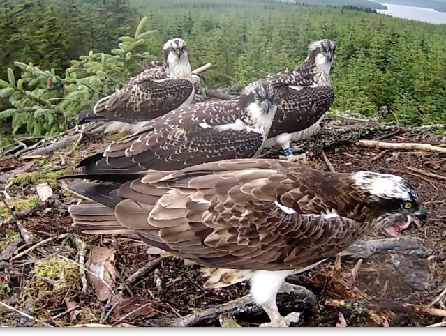 The youngsters watch as Mrs YA tucks in (c) Forestry Commission England