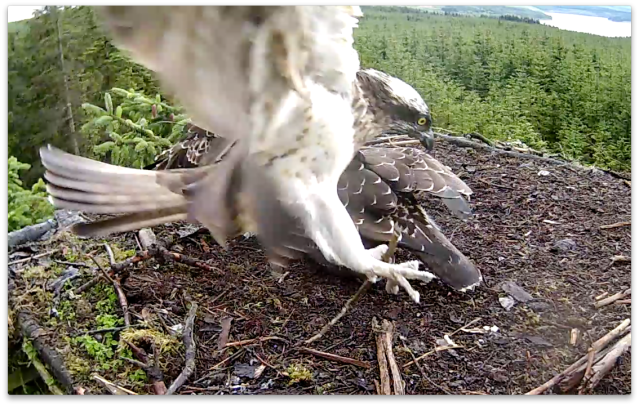 At 18.38 Mrs YA lands on Nest 1 with a stick (c) Forestry Commission England