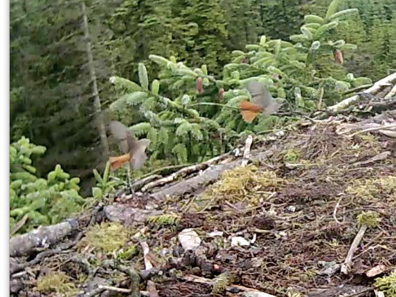 Two redstarts flit around Nest 1 (c) Forestry Commission England