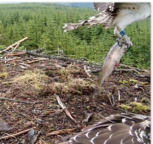 Blue VT takes off with a fish (c) Forestry Commission England