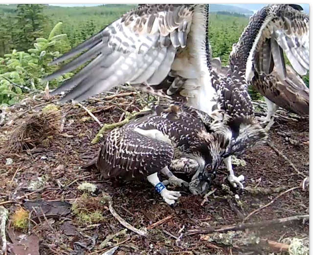 Blue VV has the nerve to try and take the fish so Blue VT pecks her (c) Forestry Commission England